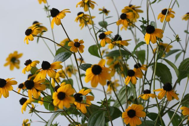 Black eyed Susan flowers from Garden For the Soul of garden designer Linda Wiggen Kraft St. Louis