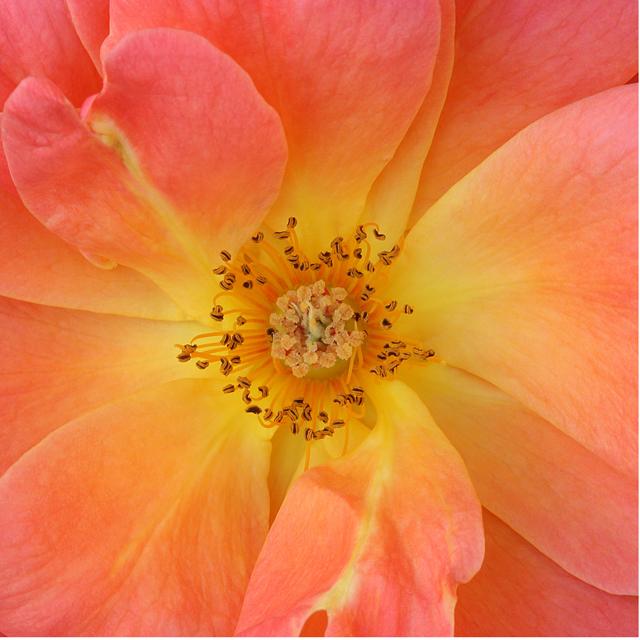 Flower Mandala Photograph of Rose Livin Easy by Photographer artist Linda Wiggen Kraft