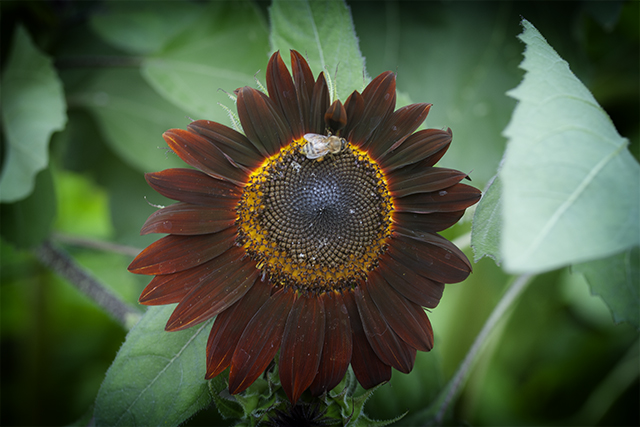 bee-sunflower-dark-mobot-photo-linda-wiggen-kraft-blog