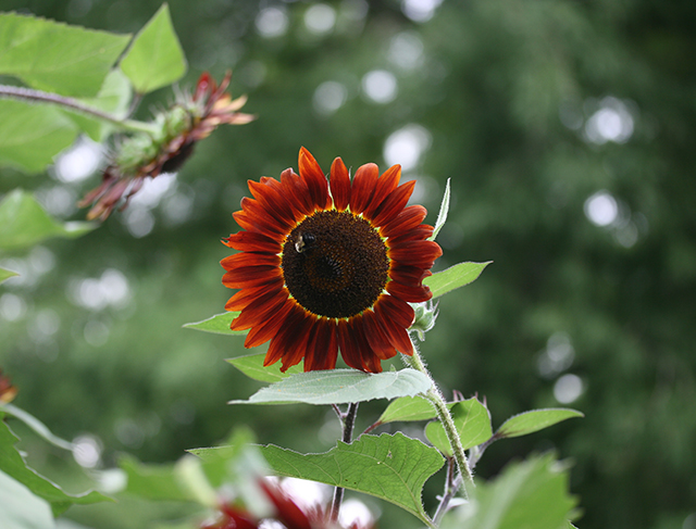 sunflower-bee-dark-flowers-photo-linda-wiggen-kraft-blog
