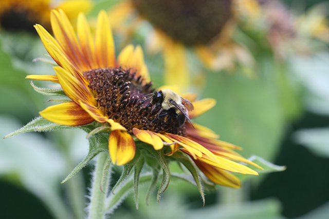 sunflower-bee-sideways-photo-linda-wiggen-kraft-blog