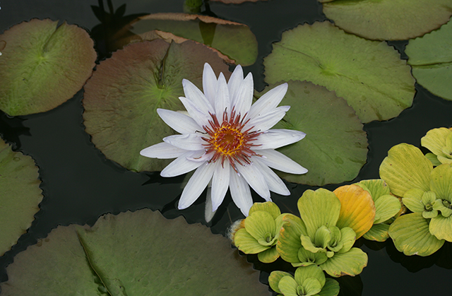 white-waterlily-mobot-august-2013-photo-linda-wiggen-kraft-blog