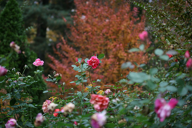 garden-goodnight-roses-blog-linda-wiggen-kraft-blog