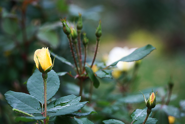 garden-goodnight-yellow-rose-blog-linda-wiggen-kraft-blog