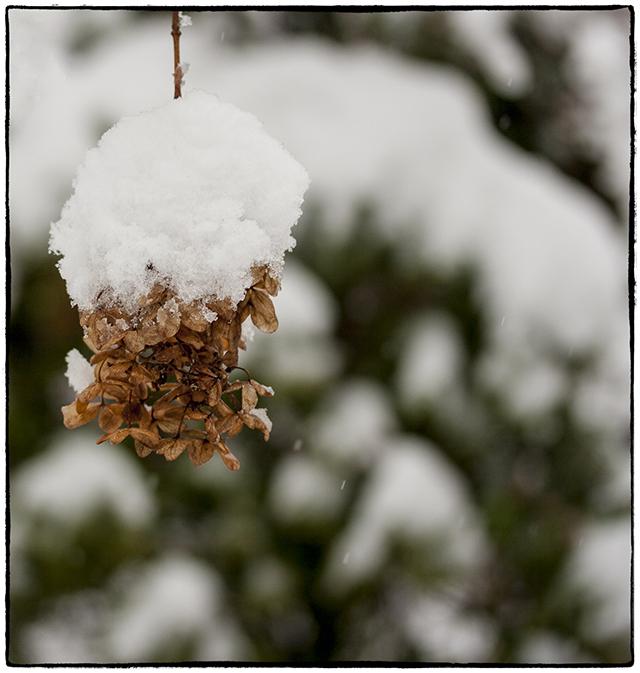 winter-snow-hydrangea-blog-linda-wiggen-kraft-blog
