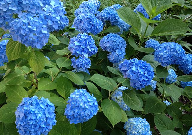 blue-hydrangea-bush-1-blog-linda-wiggen-kraft-blog