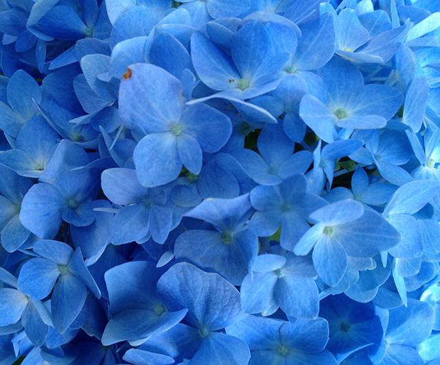 blue-hydrangea-closeup-blog-linda-wiggen-kraft-blog