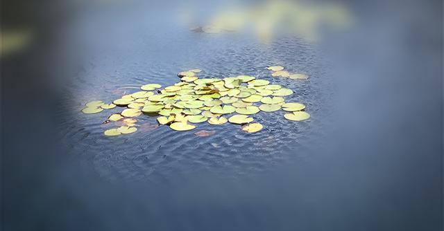 blue-water-lily-soft-focus-blog-linda-wiggen-kraft-blog