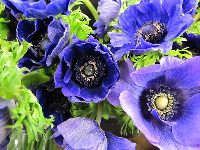 valentine-blue-anemone-photo-linda-wiggen-kraft-blog