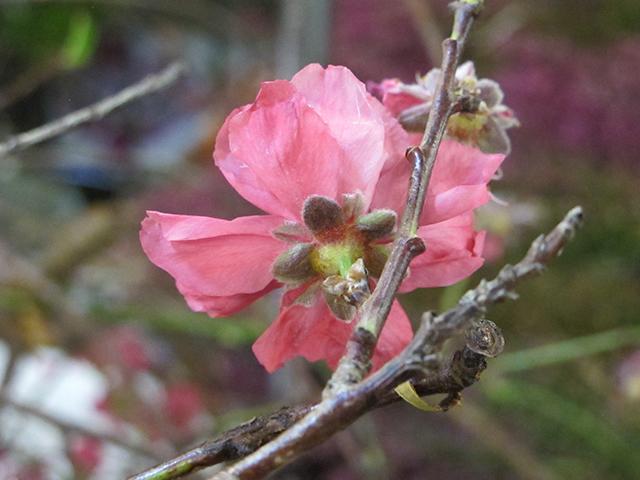 valentine-quince-photo-linda-wiggen-kraft-blog