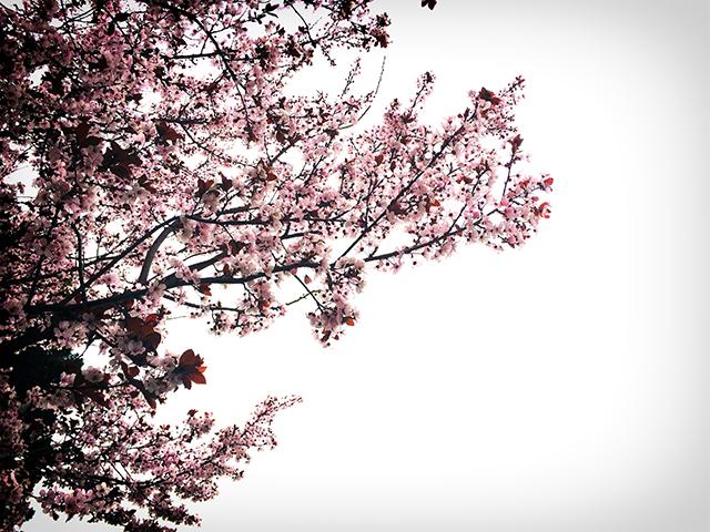 on-walk-cherry-blossoms-photo-linda-wiggen-kraft-blog
