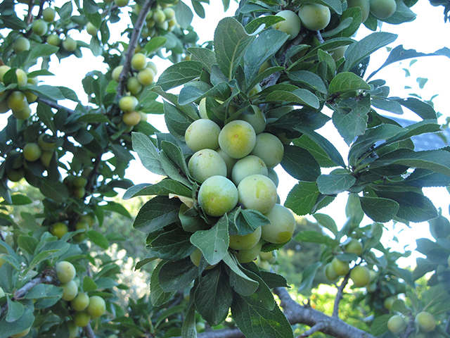 edible-schoolyard-apples-green-blog-linda-wiggen-kraft-blog