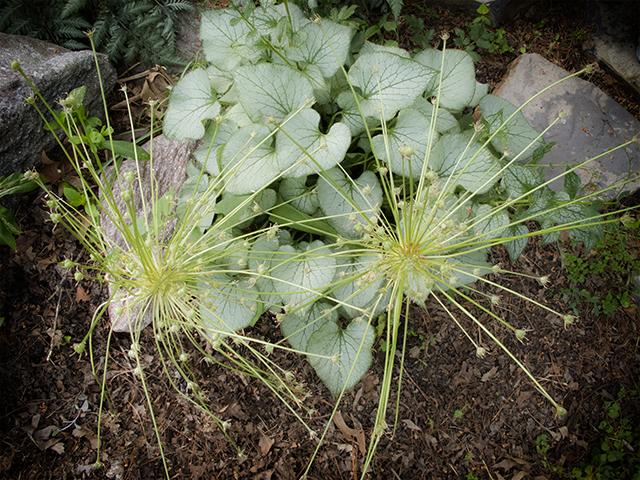 garden-may-29-14-brunnera-alliums-blog-linda-wiggen-kraft-blog