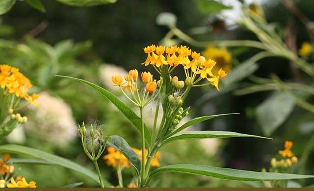 asclepias-curassavica-yellow-blog-creativity-for-the-soul-photo-linda-wiggen-kraft-blog