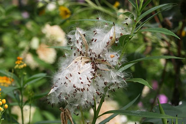 asclepias-seeds-blog-creativity-for-the-soul-photo-linda-wiggen-kraft-blog