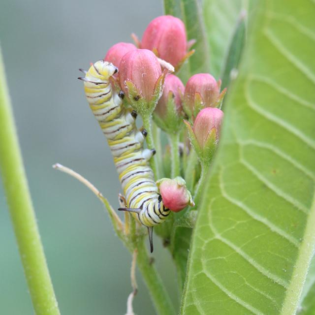 monarch-baby-caterpillar-blog-creativity-for-the-soul-photo-linda-wiggen-kraft-blog