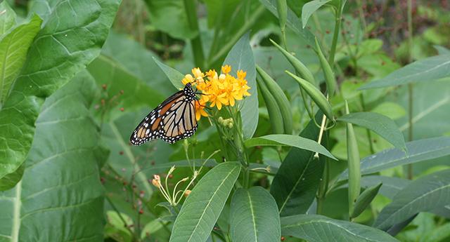 monarch-on-asclepais--blog-creativity-for-the-soul-photo-linda-wiggen-kraft-blog