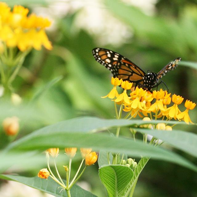 monarch-on-asclepias-blog-creativity-for-the-soul-photo-linda-wiggen-kraft-blog