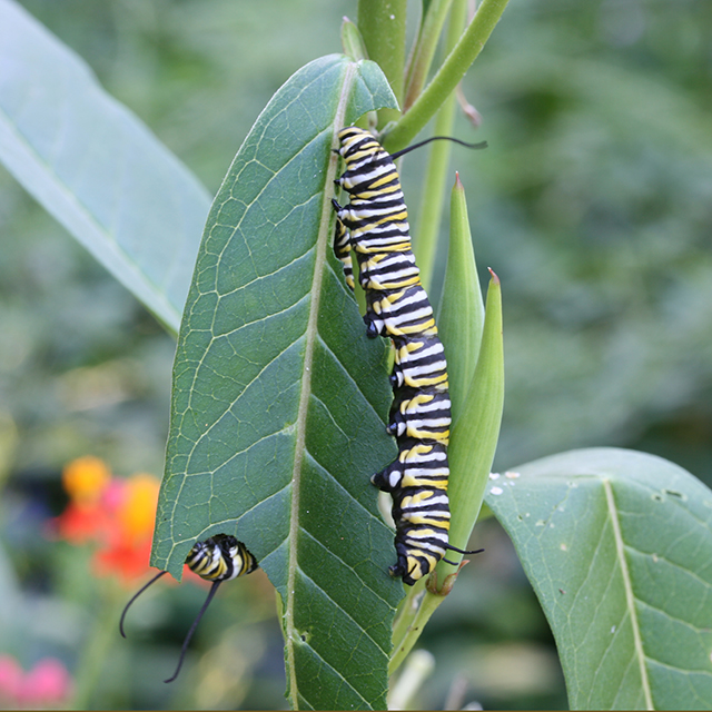 very-hungry-caterpillars-monarchs-blog-creativity-for-the-soul-photo-linda-wiggen-kraft-blog
