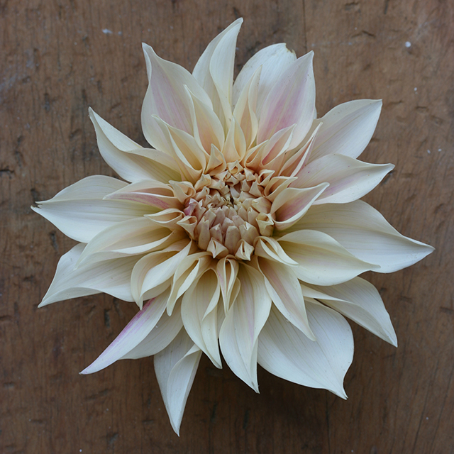 flower-mandala-dahlia-cafe-au-lait-photo-linda-wiggen-kraft-blog-creativity-for-the-soul-blog