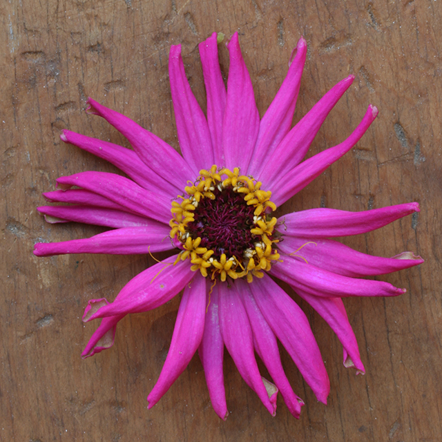 flower-mandala-zinnia-cactus-photo-linda-wiggen-kraft-blog-linda-wiggen-kraft-blog