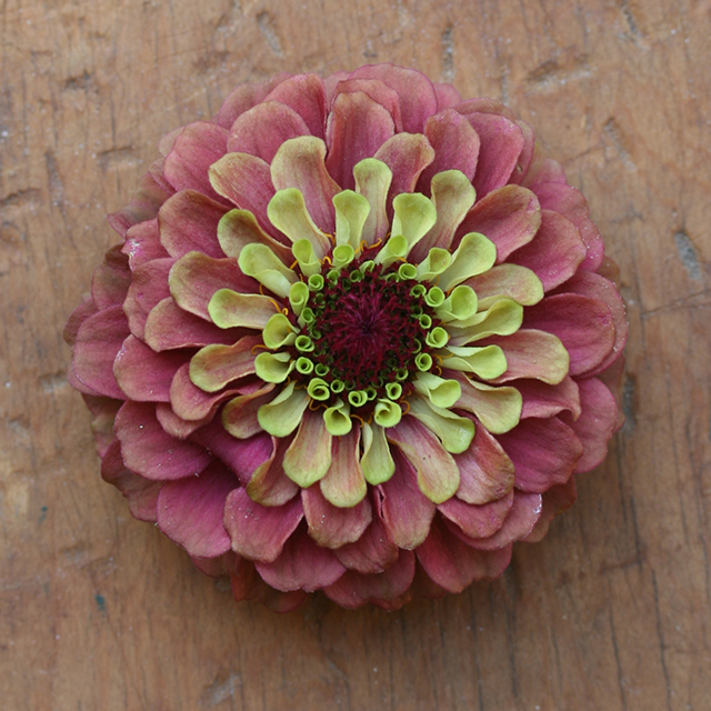 flower-mandala-zinnia-qlr-green-pink-photo-linda-wiggen-kraft-blog-creativity-for-the-soul-blog