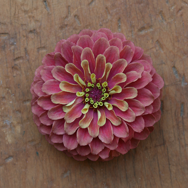 flower-mandala-zinnia-qlr-pink-photo-linda-wiggen-kraft-blog-creativity-for-the-soul-blog