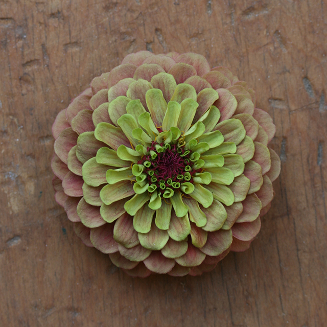 flower-mandala-zinnia-qlr-tan-photo-linda-wiggen-kraft-blog-creativity-for-the-soul-blog