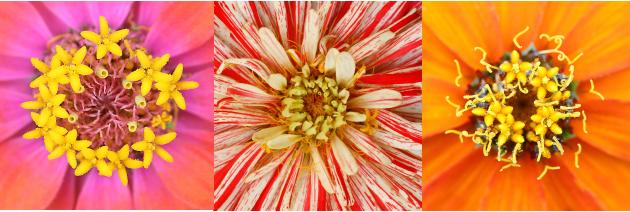Zinnia flowers mandala centers red, orange, pink photo linda wiggen kraft