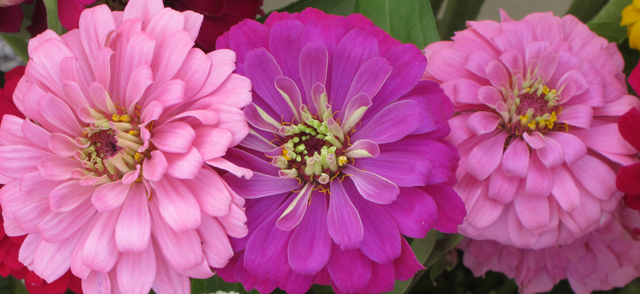 three pink zinnias with mandala centers photo by linda wiggen kraft