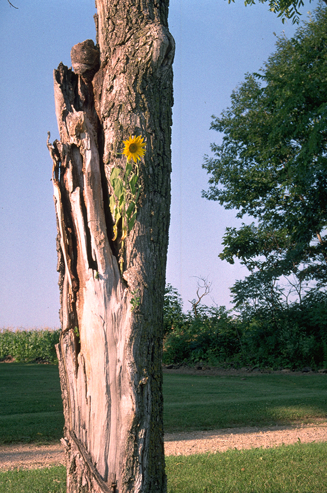 sunflower-in-tree-blog-creativity-for-the-soul-blog