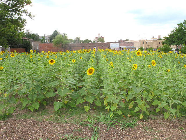 sunflowers-buildings-west-blog-creativity-for-the-soul-blog