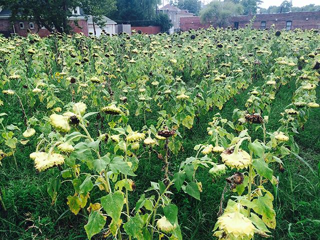 sunflowers-delmar-end-of-season-blog-creativity-for-the-soul-blog