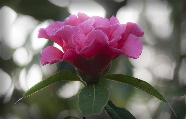 flower-fix-camellias-3-blog-creativity-for-the-soul-blog