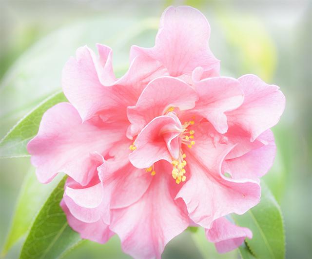 flower-fix-camillia-2-blog-creativity-for-the-soul-blog