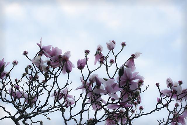 flower-fix-magnolias-4-blog-creativity-for-the-soul-blog