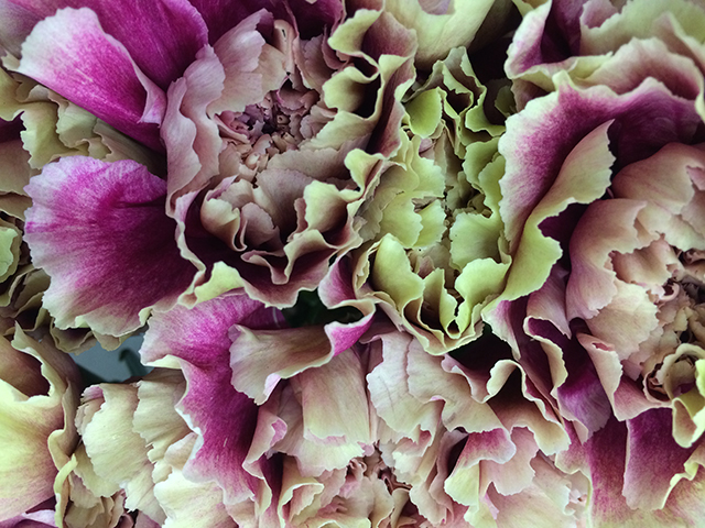 flower-fix-carnation-antiqua-blog-creativity-for-the-soul-blog