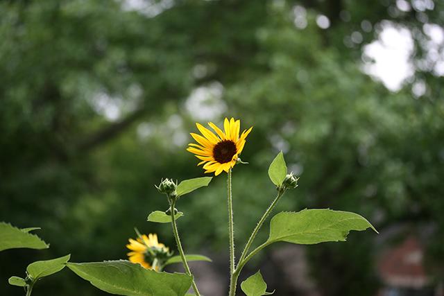 first-sunflower-cg-blog-creativity-for-the-soul-photo-linda-wiggen-kraft-blog