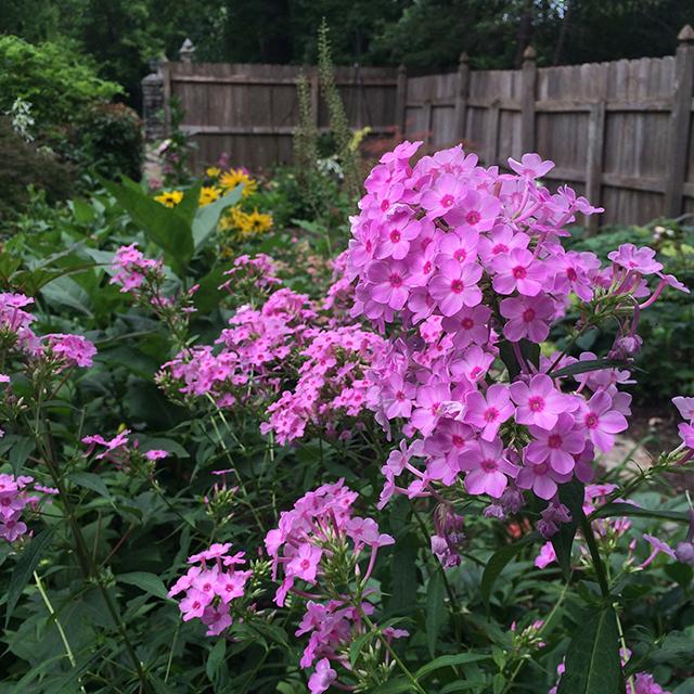 my-garden-pink=phlox-8-25-15-blog-creativity-for-the-soul-blog