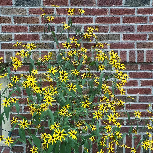 my-garden-rudbeckia-triloba-wall-blog-creativity-for-the-soul-blog