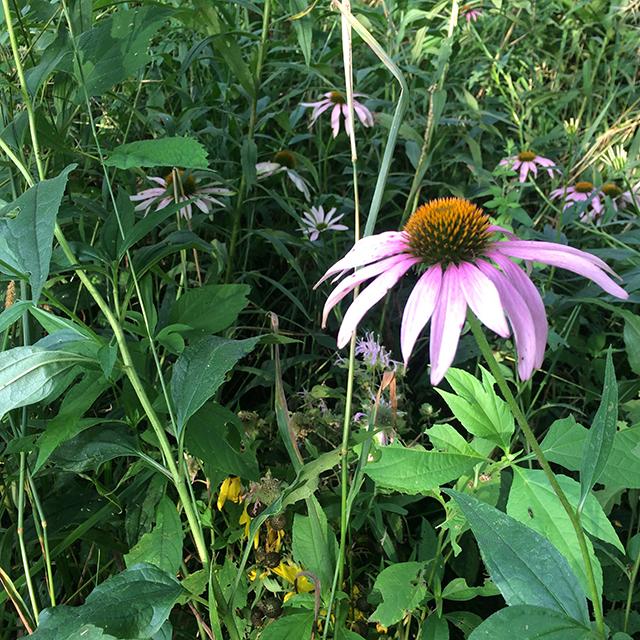 purple-coneflower-earth-mirrors-blog-creativity-for-the-soul-blog