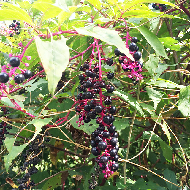 pokeweed-blog-creativity-for-the-soul-blog