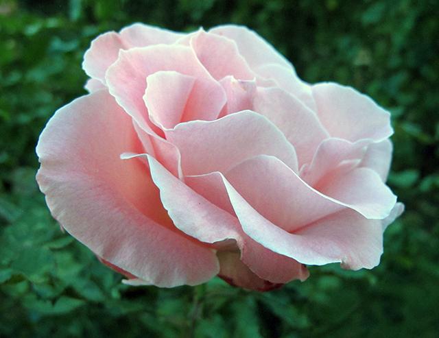 rose-garden-pink-blog-creativity-for-the-soul-blog