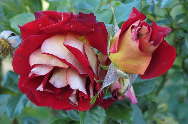 rose-garden-red-white-blog-creativity-for-the-soul-blog