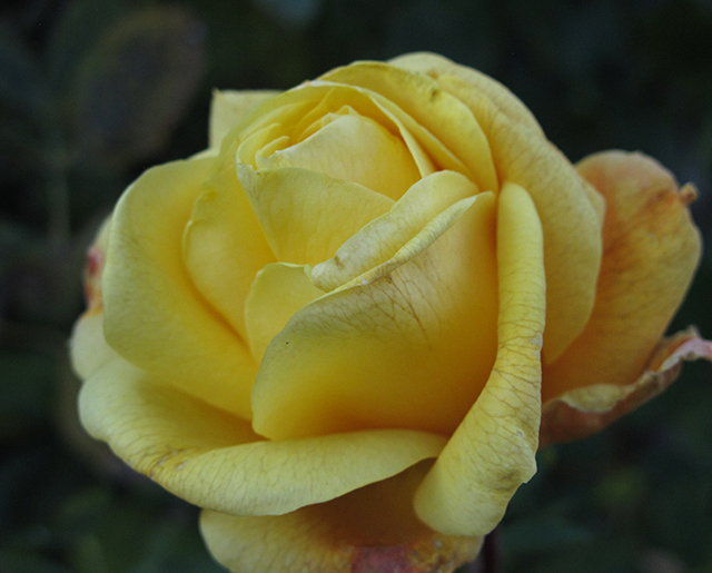 rose-garden-yellow-blog-creativity-for-the-soul-blog