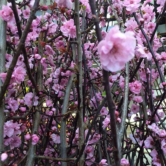 flower-mandalas-cherry-blossoms-blog-creativity-for-the-soul-blog