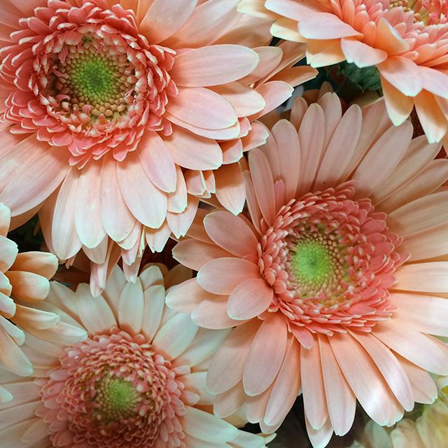 flower-mandalas-peach-gerber-daisy-blog-creativity-for-the-soul-blog