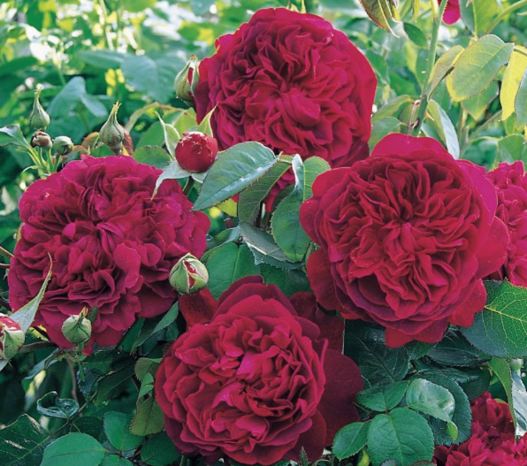 shakespeare-red-rose