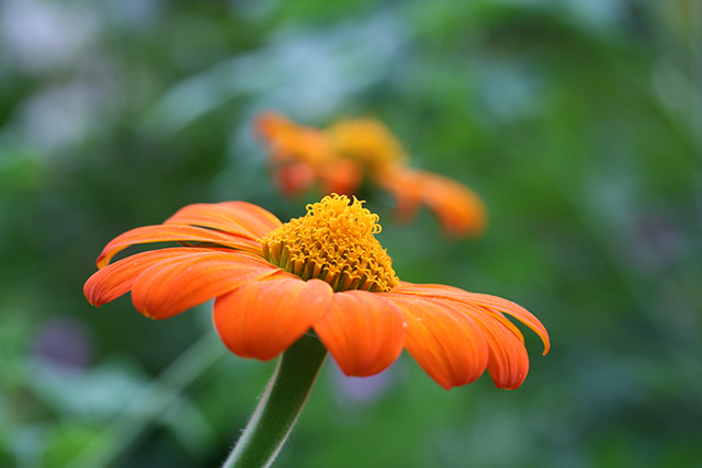garden-to-be-tithonia-2-blog-creativity-for-the-soul-blog