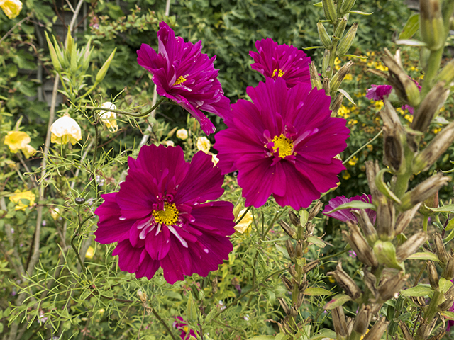 great-dixter-cosmos-blog-creativity-for-the-soul